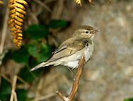 Greenish Warbler - Phylloscopus trochiloides