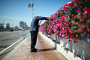 "A man waters the flowers decorating a bridge leading into Kangbashi New District of Ordos City, Inner Mongolia, China on 16 August, 2011. With an investment of over 161billion USD from the local government and revenue from the region's rich coal deposits, enough buildings have risen on the site of an old desert village to hold at least 300,000 residents, complete with ultra modern facilities and grand plazas. The district however is less than 10% occupied, dubbed the ""ghost city"", Kangbashi epitomizes China's real estate bubble and dangers in mindless investment fueled economic  growth. In 2011, the real estate price of Ordos city has dropped over 70%."