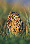 Short-eared owl in late afternoon perched in grasslands