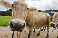 Cow stopping to sniff the camera, Swiss Alps, Flumserberg, Sarganserland, Switzerland