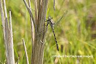 06340-00218 Gray Petaltail (Tachopteryx thoreyi) Washington Co. MO