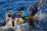 Two mallard ducks (Anas platyrhynchos) fight, splashing the water of Yellow Lake in Sammamish, Washington.