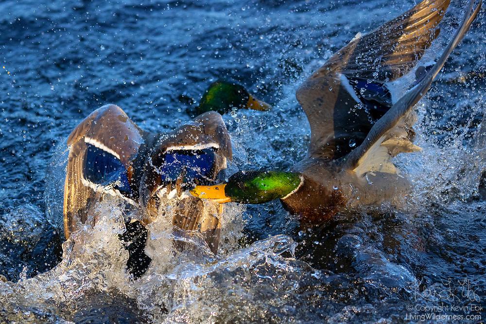 Two mallard ducks (Anas platyrhynchos) fight, splashing the water of Yellow Lake in Sammamish, Washington.