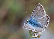 Eastern Baton Blue (Pseudophilotes vicrama) shot in Israel, Summer August