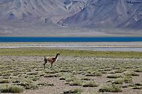 GUANACOS (Lama guanicoe), RESERVA NATURAL LAGUNA DEL DIAMANTE, PROVINCIA DE MENDOZA, ARGENTINA