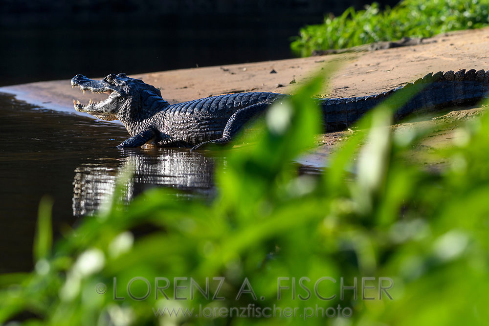 An yacare caiman (Caiman yacare) on the riverbank of the Rio Negro, Pantanal, Mato Grosso do Sul, Brazil