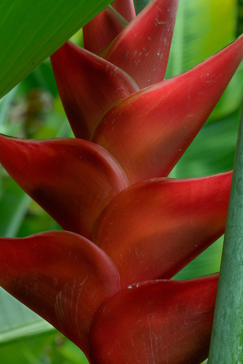 Heliconia in Red