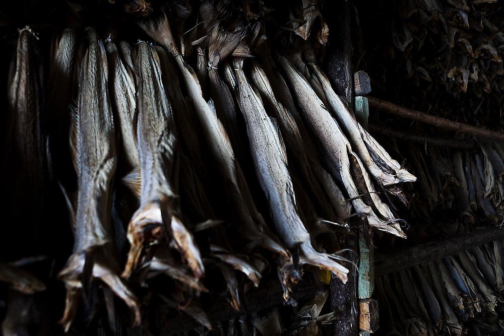 Stockfish hanging to dry in Å, Lofoten Islands, Norway.