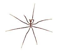 Sea Spider - Nymphon sp.