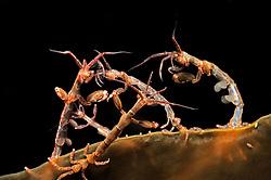 skeleton shrimps, Caprella septentrionalis, Russia, White Sea