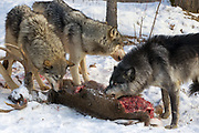 Gray wolves feed at a deer carcass in wooded winter habitat. Captive pack.
