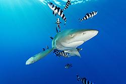 Carcharhinus longimanus, Naucrates ductor, Weissspitzen Hochseehai mit Pilotfischen, Oceanic whitetip shark with pilot fish, pilotfish, Daedalus Riff, Rotes Meer, Ägypten, Daedalus Reef, Red Sea Egypt