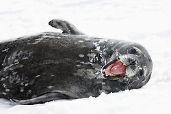 Weddell seal, Point Lookout, Elephant Island, South Georgia