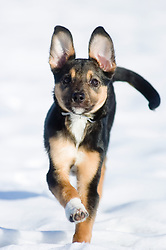 Wallace in The snow Ecclesfield Park7 fEBRUARY 2009 © Paul David Drabble Small young black and tan mongrel puppy runs across snow covered park.