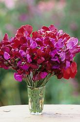Simple arrangement of dark coloured sweet peas in a glass vase. Lathyrus odoratus