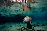 Manatee baby in Crystal River