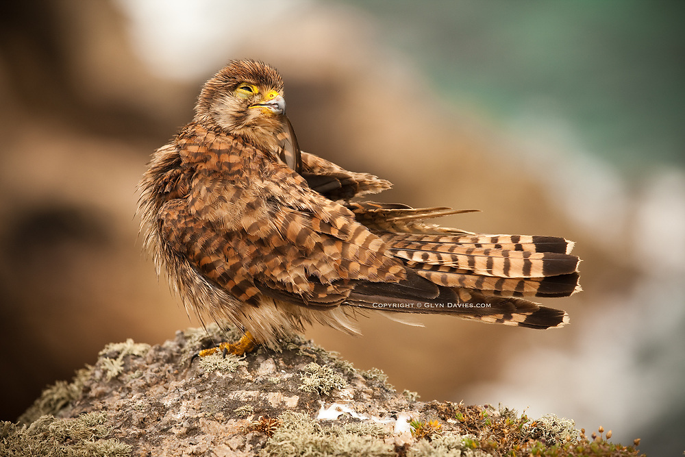 Kestrel which landed right next to me on a rainy drenched Cornish cliff top at Carn Les Boel near Land's End.