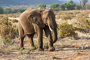 Single lone African Bush Elephant (Loxodonta africana) Photographed in The wild
