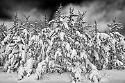 Snow covered pine trees, Belair Provincial Forest, Manitoba, Canada