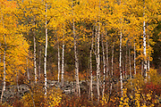 Aspens along Lost Horse Creek, Montana