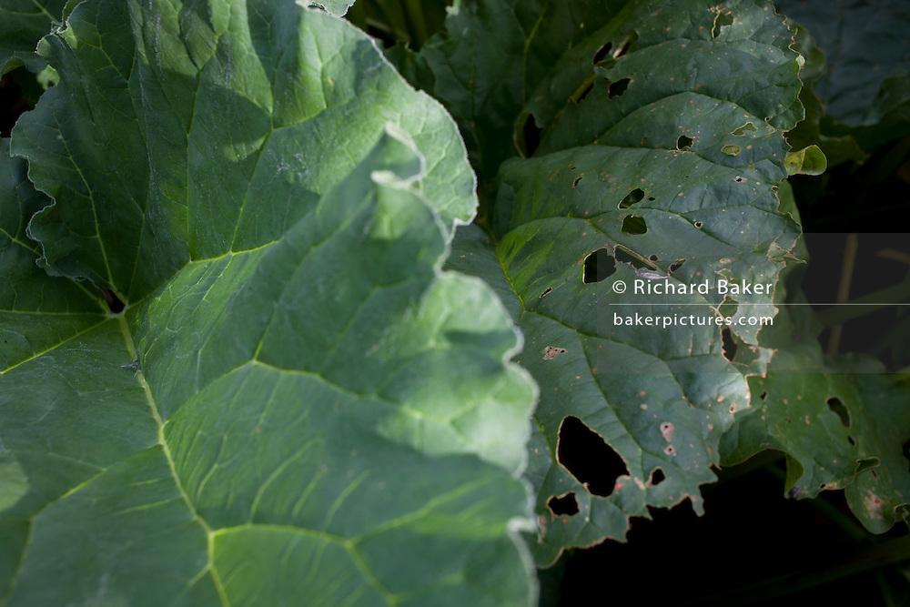 Eaten away rhubarb leaves growing in home-grown vegetable plot in a Somerset back garden.