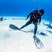 A scuba diver feeds an invasive lionfish (Pterois volitans) to a Caribbean reef shark (Carcharhinus perezi) off Grand Bahama Island, Bahamas. It was once thought that if the sharks learned that lionfish taste good they would actively hunt live lionfish. So far, that has not been the case.