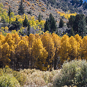 The Fall season in the Eastern Sierras is one of the most beautiful seasons to visit. Colorful Aspens line the June Lake Loop, a scenic drive around several Eastern Sierra lakes.