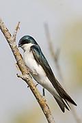 Tree Swallow banded.(Tachycineta bicolor).San Joaquin Wetlands,California