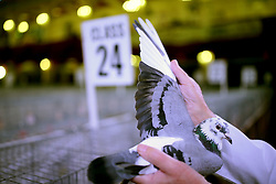© Licensed to London News Pictures. 21/01/2017. Blackpool, UK. A competition pigeon is inspected at the British Homing World, Show of the Year at The Winter Gardens in Blackpool. The show has been running since 1973 with over 2500 pigeons on show and an expected 25000 visitors over the weekend. This is the largest gathering of Pigeon Fanciers in the United Kingdom. From trade stands, various groups and organisations, talks, films, young fanciers areas, to the main event: the showing and judging of thousands of the top pigeons in the UK. Photo credit: Nigel Roddis/LNP