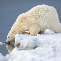 Polar bear cub in snow along the coast of arctic Alaska