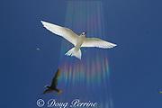 "white tern or fairy tern, Gygis alba, (brown noddy in back), Christmas Island, Kiribati, ""rainbow"" effect caused by sun refracting through  polarizing filter"