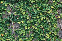 Ficus trepador, Ficus pumila, Venezuela