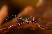Aquatic bug (Hydrometra stagnorum). Selent, Germany | Stelzfuß oder Teichläufer (Hydrometra stagnorum) Selent, Deutschland