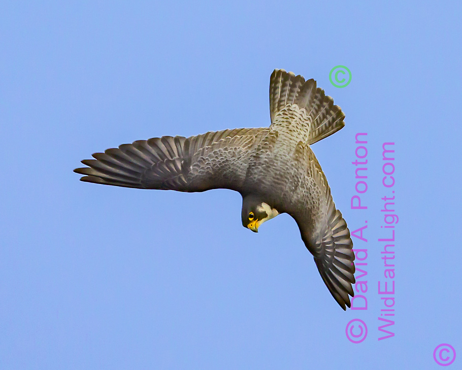 Peregrine falcon in diving flight, wings suddenly deployed for correction, © David A. Ponton