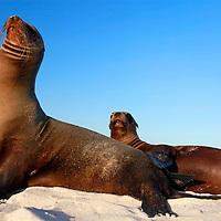 South America, Ecuador, Galapagos. Sea Lions on Mosquera Island.
