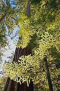 Foliage Illuminated, Looking up at Redwood Trees, Redwood Forest, Big Basin Redwoods State Park, California copyright 2009 David Leland Hyde.