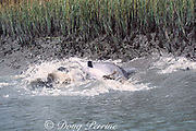 strand-feeding bottlenose dolphins, Tursiops truncatus, force mullet, Mugil sp., onto the bank of a salt marsh (dolphin on right has fish in mouth), South Carolina, USA, North America (2 in sequence of 2)
