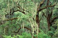 Moss-covered oak trees, Bothe-Napa Valley State Park, Napa County, California
