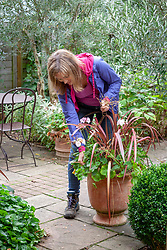 Deadheading pelargoniums in a container