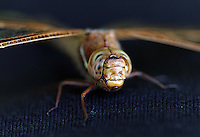 A dragonfly is an insect belonging to the order Odonata, the suborder Epiprocta or, in the strict sense, the infraorder Anisoptera. It is characterized by large multifaceted eyes, two pairs of strong transparent wings, and an elongated body. Dragonflies are similar to damselflies, but the adults can be differentiated by the fact that the wings of most dragonflies are held away from, and perpendicular to, the body when at rest. Dragonflies possess six legs (like any other insect), but most of them cannot walk well. Dragonflies are some of the fastest insects in the world...