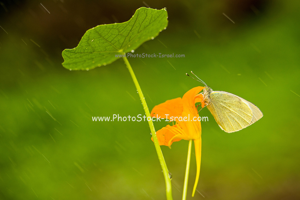 Large white (Pieris brassicae), also called cabbage butterfly or cabbage white on a Monks cress (Tropaeolum majus) flower. Photographed in Israel in February