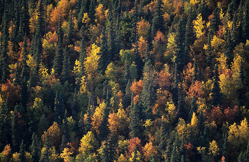 Denali National Park, Black Spruce forest with aspen trees dispersed throughout. Autumn. Alaska.