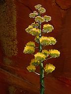 Agave bloom, Woods Canyon, Sedona, AZ