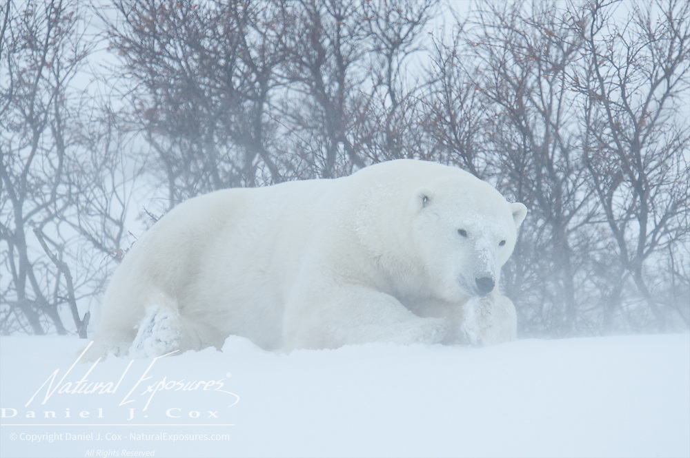 Polar bear taking shelter in the willow patches from the howling wind near Cape Churchill, Hudson Bay, Manitoba.