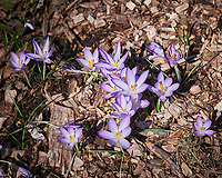 Purple Crocus. Image taken with a Leica SL2 camera and 24-90 mm f/2.8-4 lens.