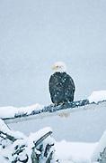Alaska . Homer . Bald Eagle (Haliaeetus leucocephalus) resting on log with heavy snowfall all around.