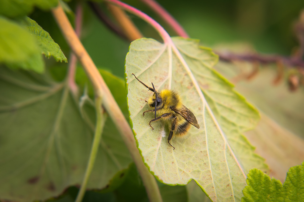 This really fuzzy bumblebee was found quite by accident on the back of a currant leaf in Mercer Slough in Bellevue, WA. This Pacific Northwest native bumblebee is found from California to British Columbia, and occasionally in Alberta, Canada.