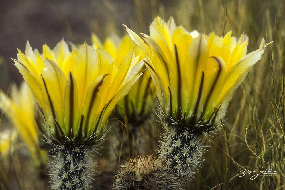 Hedgehog cactus (Echinocereus dasyacanthus), Big Bend NP, TX, USA