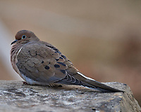 Cold Mourning Dove. Image taken with a Nikon D5 camera and 600 mm f/4 VR lens