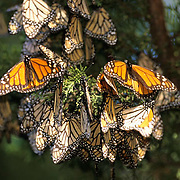 Monarch Butterfly, (Danaus plexippus) Migrating through southern California.